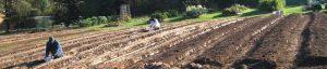 Planting Garlic Bulbs