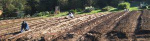 certified naturally grown garlic
