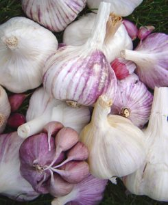 Chefs Package garlic variety